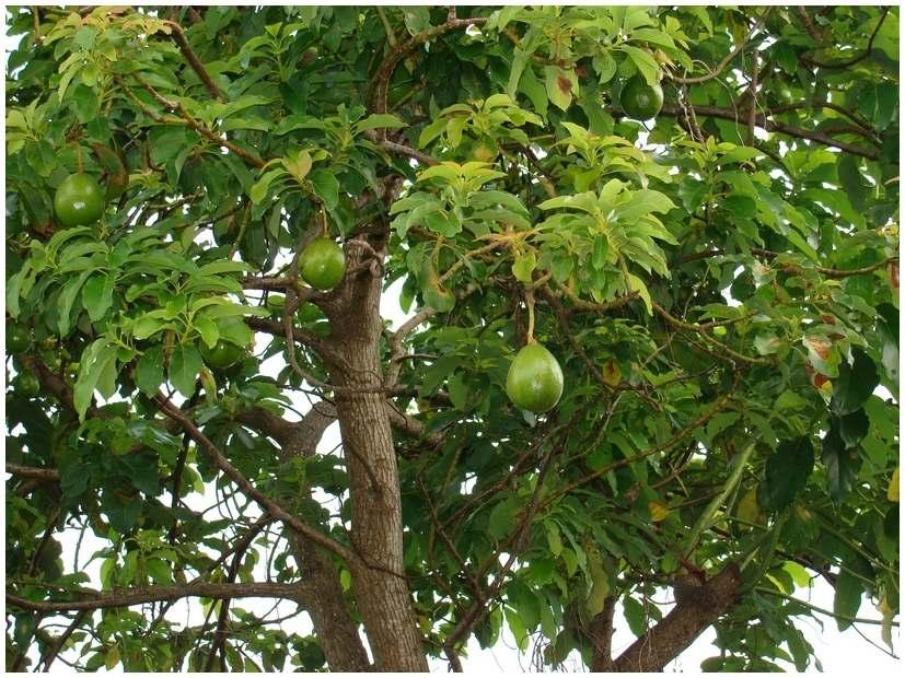 Guadeloupe Avocatier