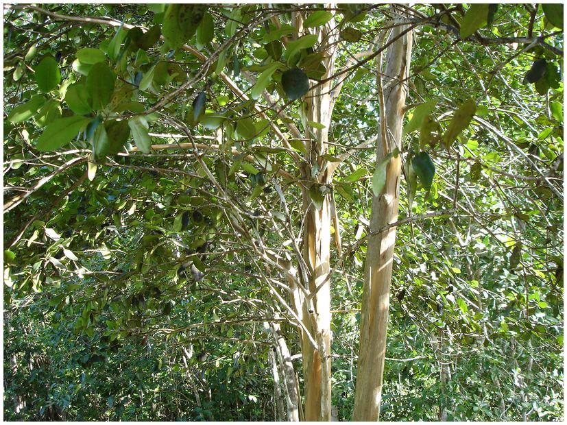 Ile Maurice, Guadeloupe, quatre épices ~ Bois D Inde Epice